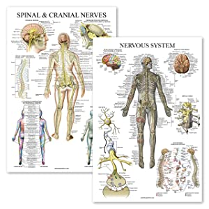 "2 Pack - Spinal Nerves & Nervous System Anatomy Posters - Set of 2 Anatomical Charts - Spine/Nervous - Laminated 18"" x 27"""