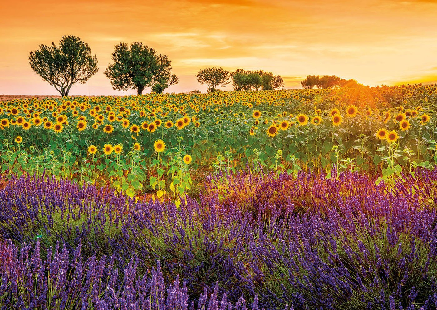 Educa 17669/1500/Field with Sunflowers and Lavender