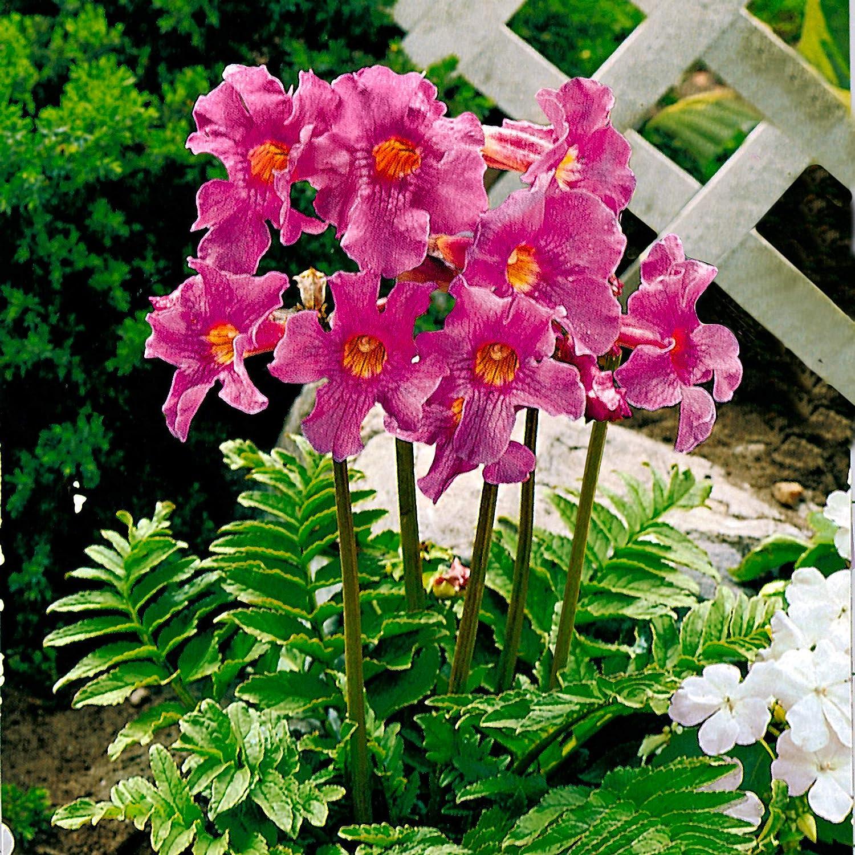 Sommerbl/üher Blumenzwiebeln 6x Incarvillea delavayi 14 cm Gartengloxinie Rosa Bl/üten