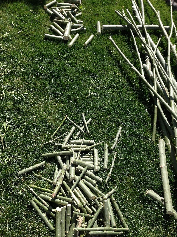 Amazon.com: 1.000 Hybrid Willow Trees. austree crece 12 foot ...