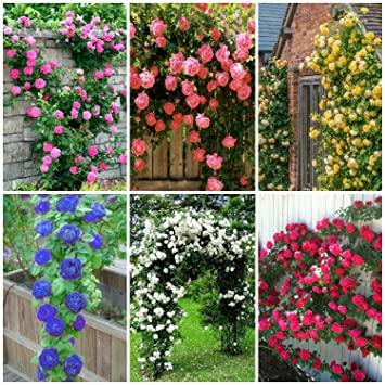 NooElec Seeds India 6 Varieties Climbing Rose Flower Seeds (Red, Yellow, White, Pink, Purple, Blue)