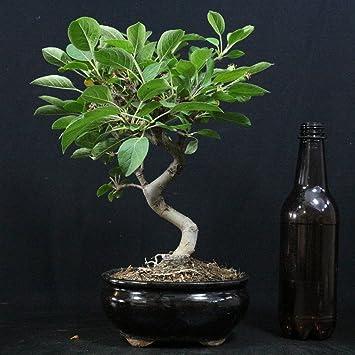 Manzano ornamental, Malus, bonsái para exterior, 8 años, altura 22 cm