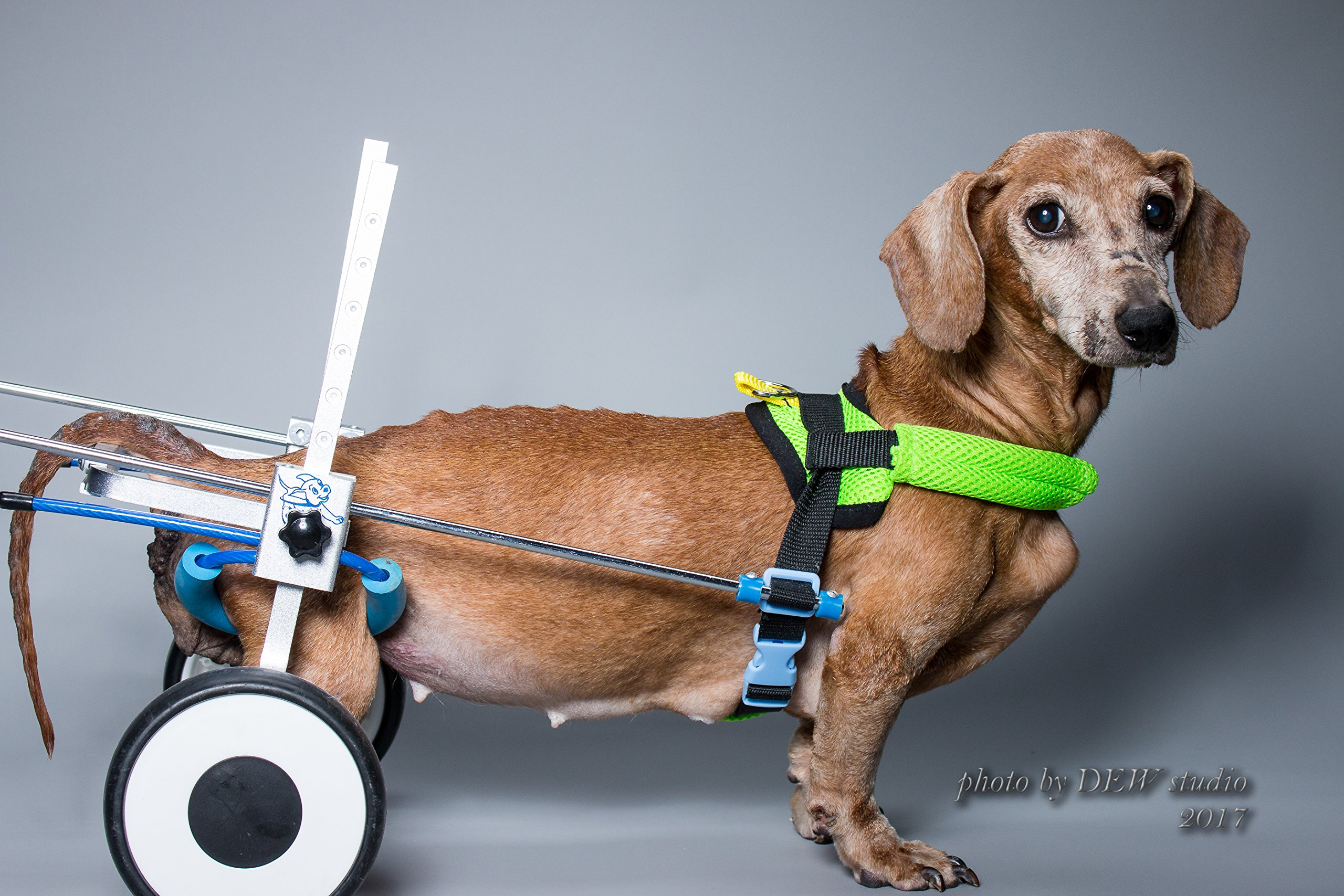 New!!! XS-LW: special for Corgi, Dachshund, Basset,Adjustable Dog Pet Wheelchair, Hind legs Rehabilitation, 7 SIZES , Dog Cart ,Wheels (including belly band for spine protection, dog leash