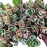 Cal Summer Garden 40+ Sedum Spurium Tricolor Unrooted Cuttings Fast to Root Ground Cover Stonecrop Succulents