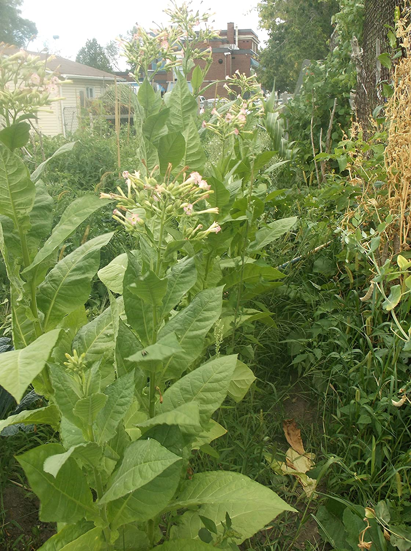 Seeds Habana 2000 Tobacco Nicotiana tabacum 250