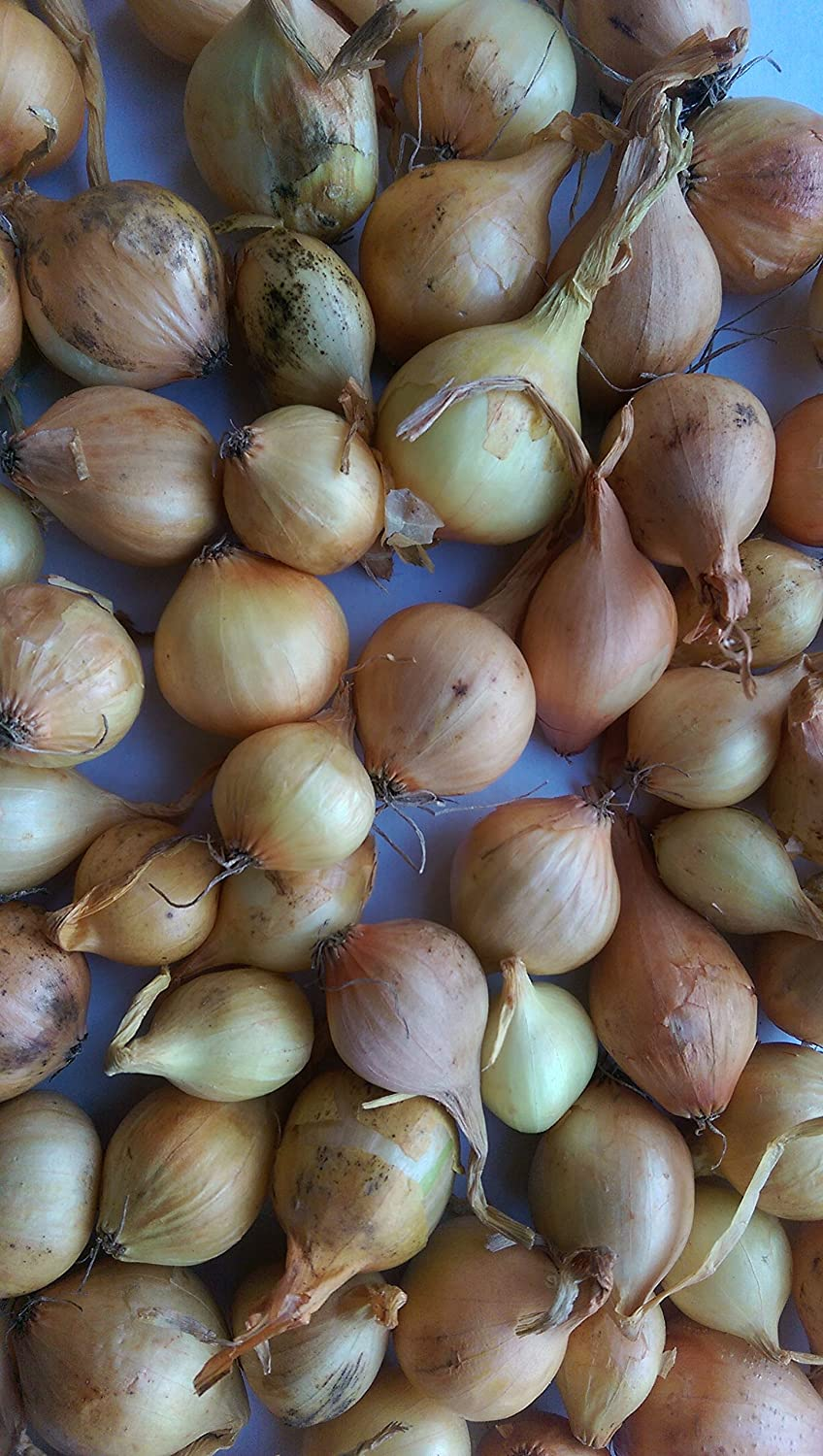 Approx 100 Quality Sets Onion Sets JustSeed Stuttgarter Giant 320g