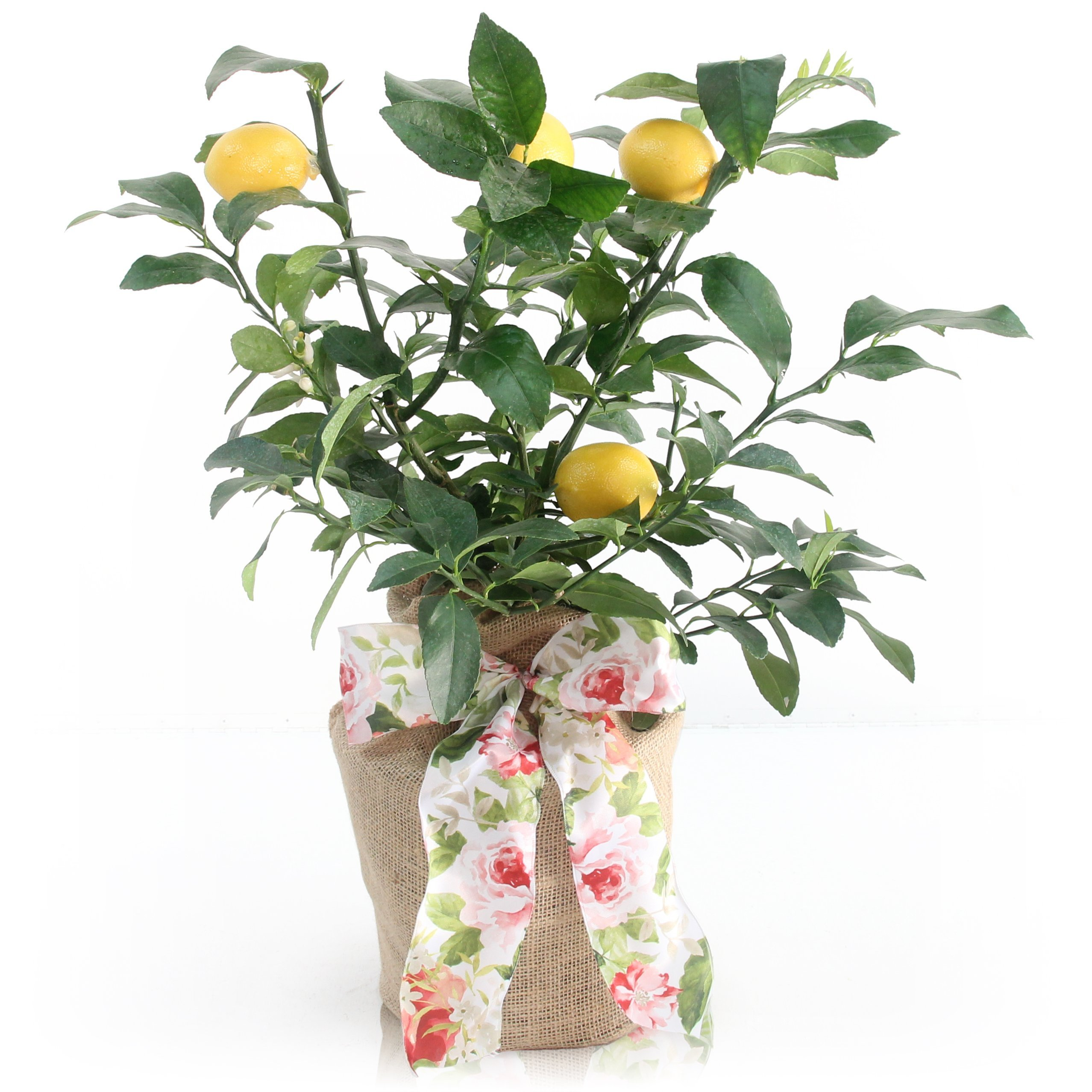 Mother's Day Meyer Lemon Gift Tree by The Magnolia Company - Get Fruit 1st Year, Dwarf Fruit Tree with Juicy Sweet Lemons, No Ship to TX, LA, AZ and CA by The Magnolia Company (Image #1)