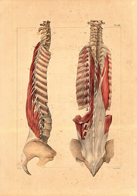 Amazon Antique Medical Anatomy Print Sacrospinal Muscles Spine