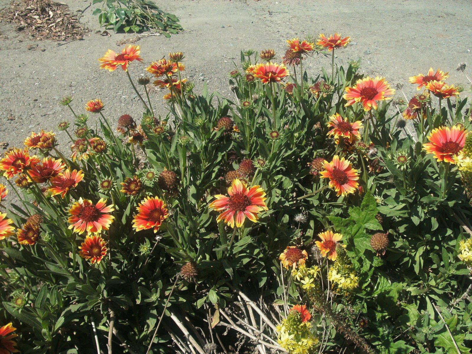 P006X03. 3 Plants of Gailardia Arizona Sun