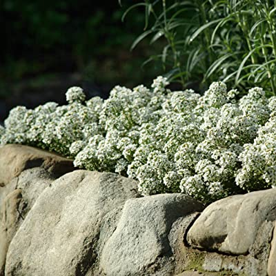 Outsidepride Alyssum Tiny Tim Ground Cover Seed - 5000 Seeds : Flowering Plants : Garden & Outdoor