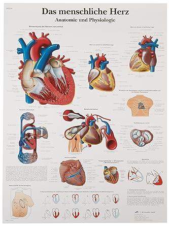 Amazon 3b Scientific Vr0334uu Glossy Paper Das Menschliche Herz