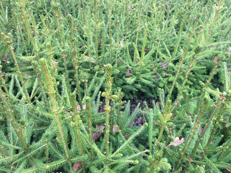 Picea abies 10 St/ück Rotfichte//Gemeine Fichte - Topfware 15-25 cm