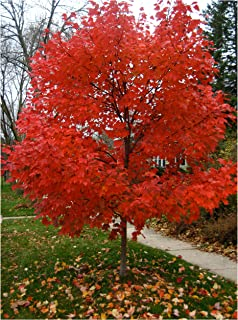 amazon com autumn blaze maple size 3 4 ft live plant includes rh amazon com Planting Maple Trees in Florida Maple Tree Growing Zones