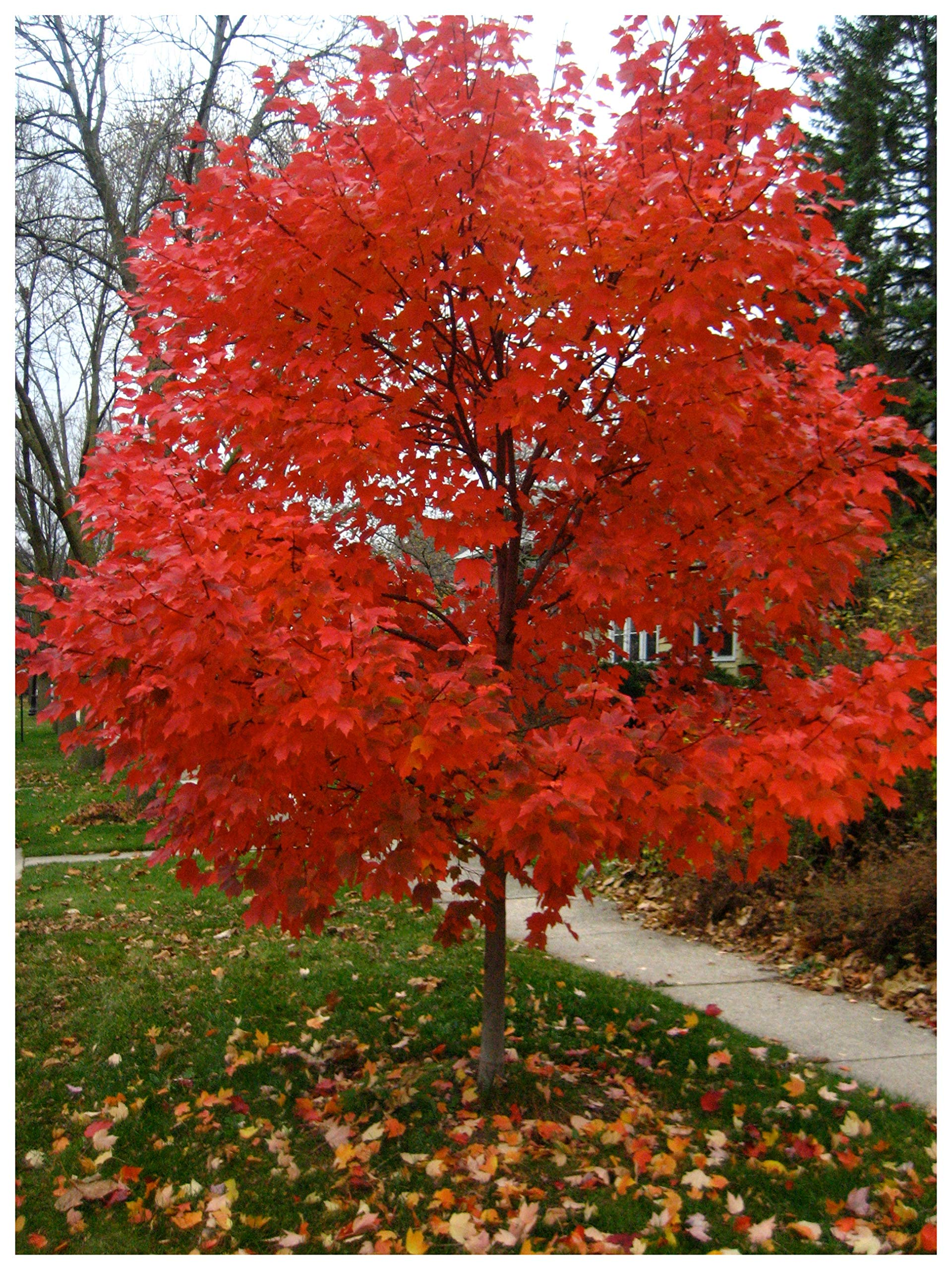 Autumn Blaze Red Maple Tree - Acer saccharinum - Heavy Established Roots - Two Gallon Potted - 1 plant by Growers Solution by Grower's Solution