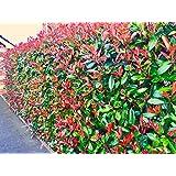 50 Photinia Red Robin Hedging Plants 30-40cm Big Pots Evergreen shrubs by Sunnyside Nurseries