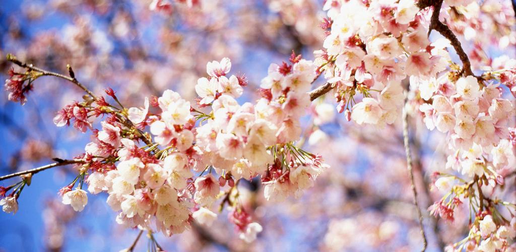 Amazon.com: Cherry Blossoms Live Wallpaper: Appstore for ...