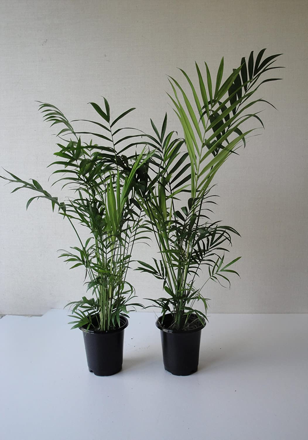 Two Tall Parlor Palms Chamaedoria. A Foot Tall in Four Inch Pots with Emeritus Gardens Organic Plant Food