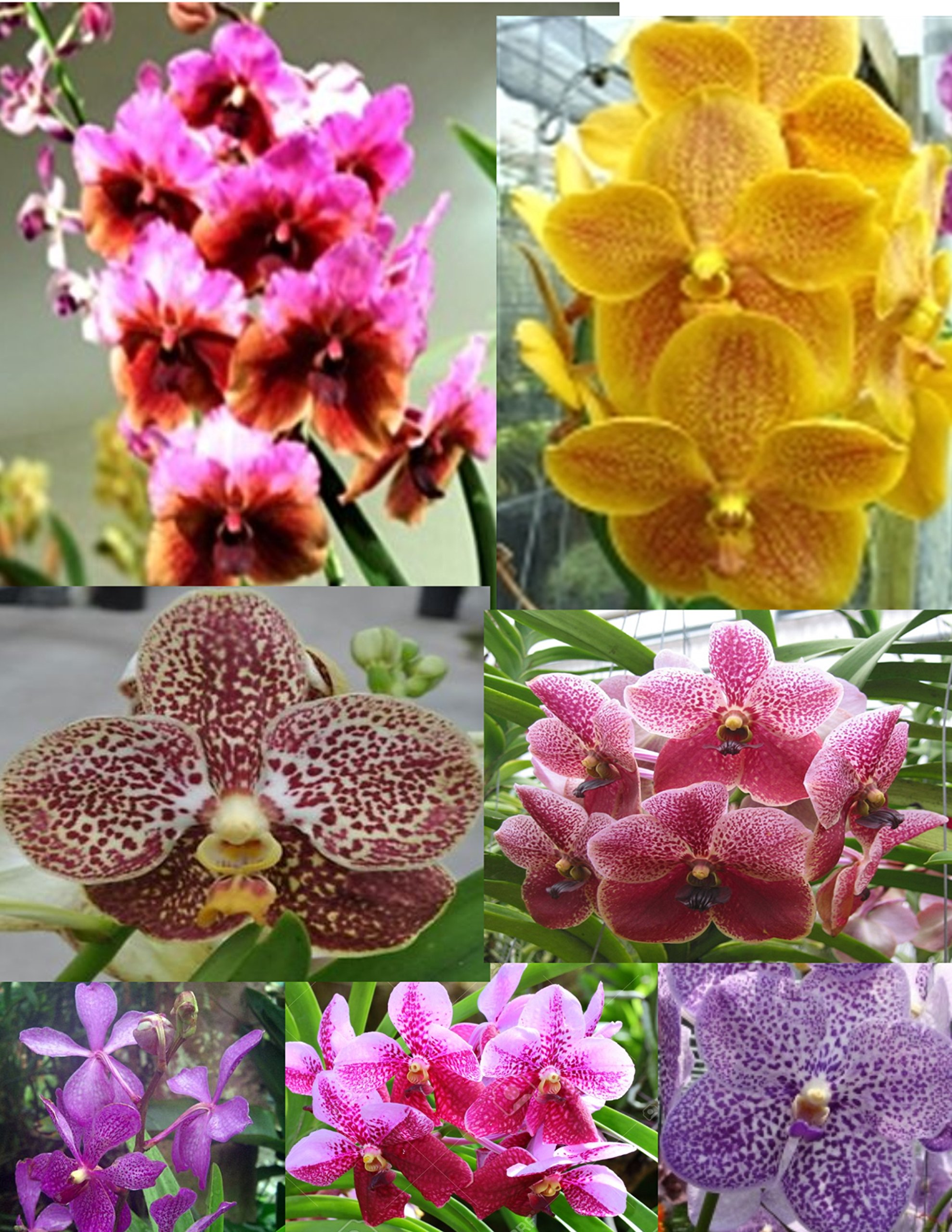4 Live Orchid Plants to Choose (Vanda) by Angel's Special
