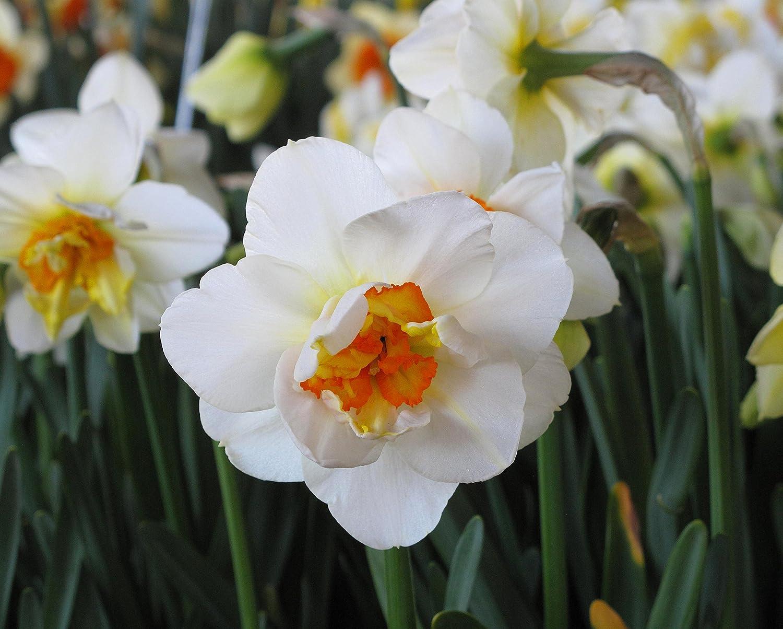 Narcissus Flower Drift - Daffodil Flower Drift - 5 bulbes GardenSeedsMarket