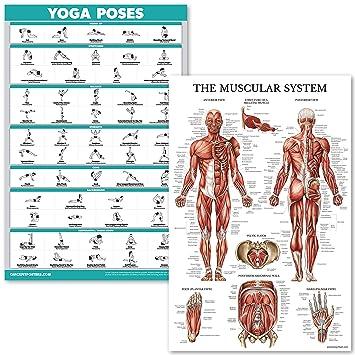 Amazon.com: Juego de pósteres anatómicos para yoga y sistema ...