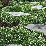 Amazon.de Pflanzenservice Sternmoos, Sagina subulata, 4 Pflanzen, 7 - 9 cm Topf,ca. 5 cm hoch, Bodendecker, immergrün, winterhart
