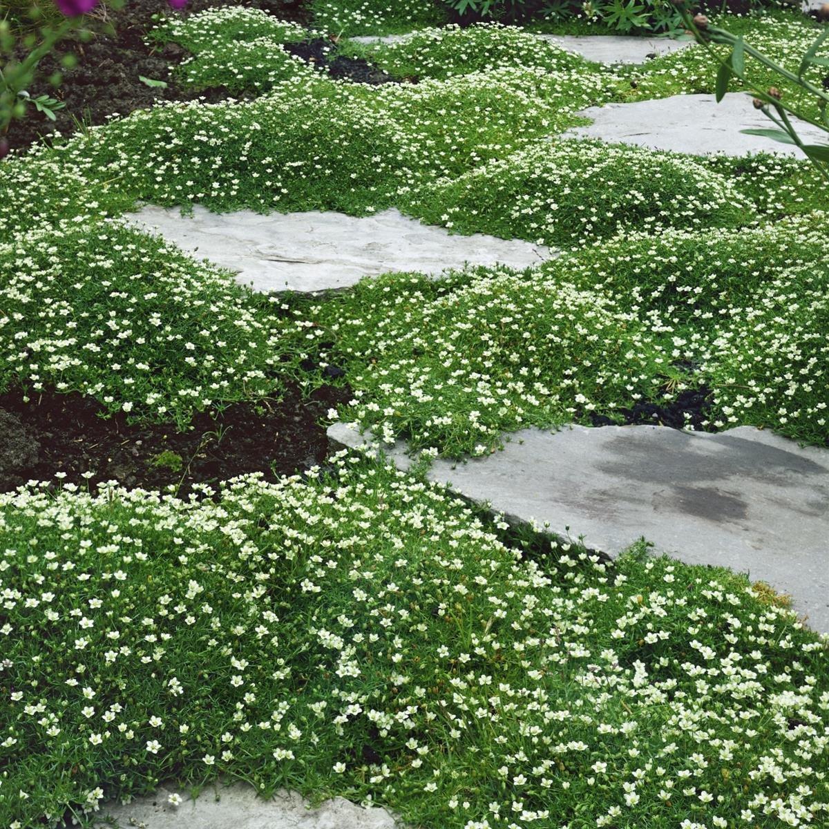 Sternmoos 4 Pflanzen Amazon Garten