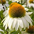 Package of 100 Seeds, White Swan Coneflower (Echinacea purpurea) Non-GMO Seeds By Seed Needs