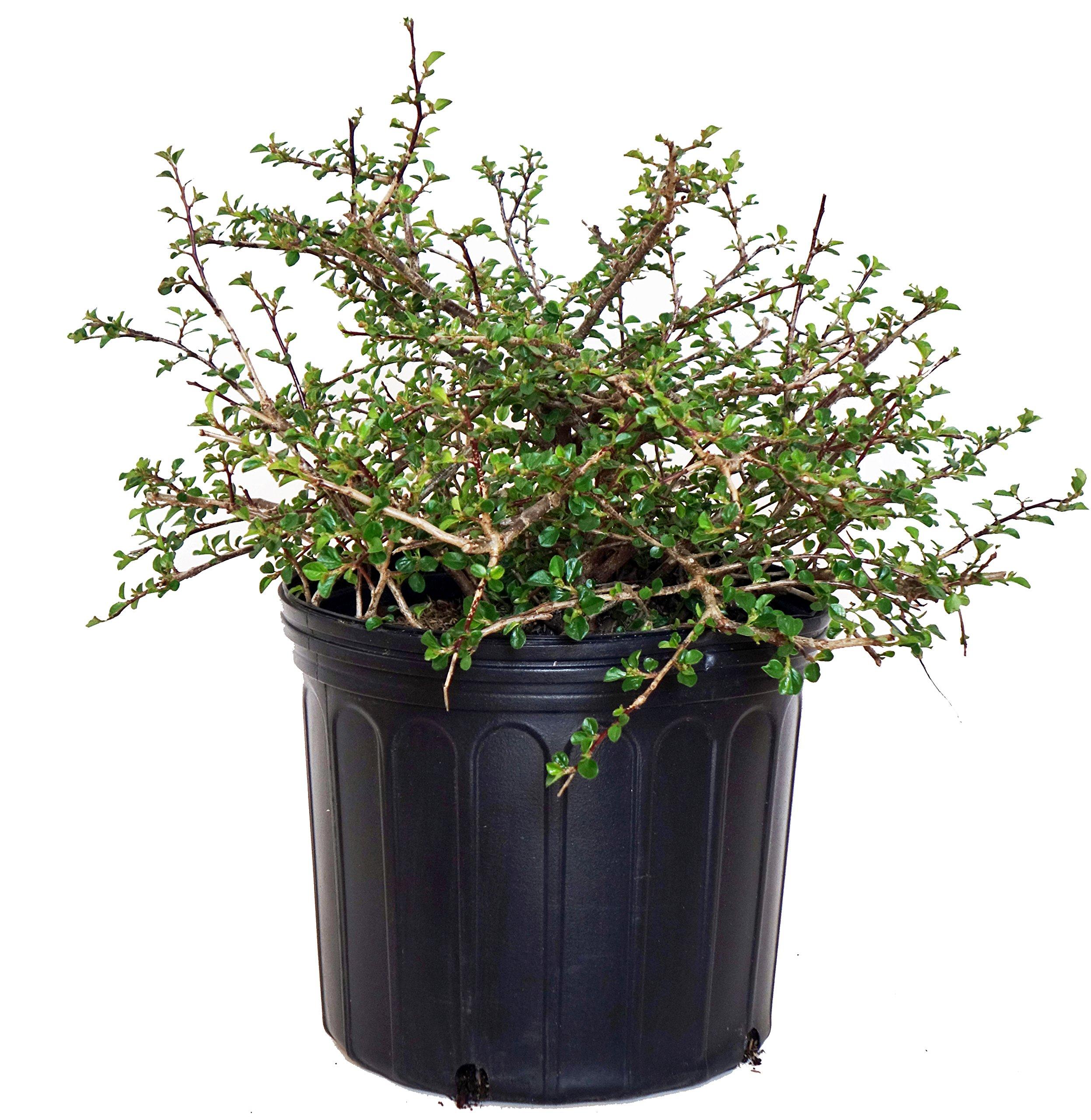 Cotoneaster Apiculatus (Cranberry Cotoneaster) Shrub, 2 - Size Container