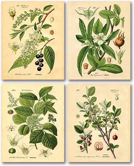 Amazon Com Gango Home Decor Popular Old Fashioned Plant Botanical Prints Four 8x10in Poster Prints Posters Prints