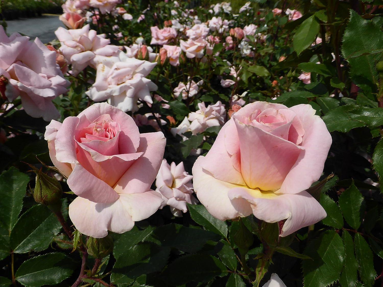 Floribunda Bush Rose Potted Apuldram RosesMatchmaker