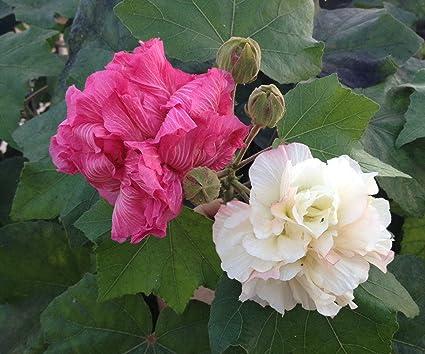 Nelesa Gardening Live Confederate Rose Land Lotus Plant Pack Of 4