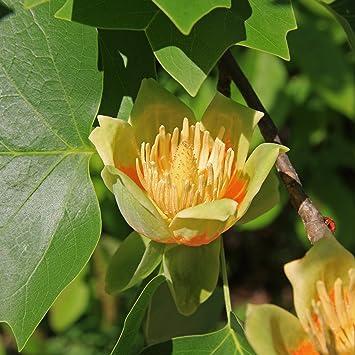 Amazoncom 15 TULIP POPLAR TREE Yellow Flower Liriodendron