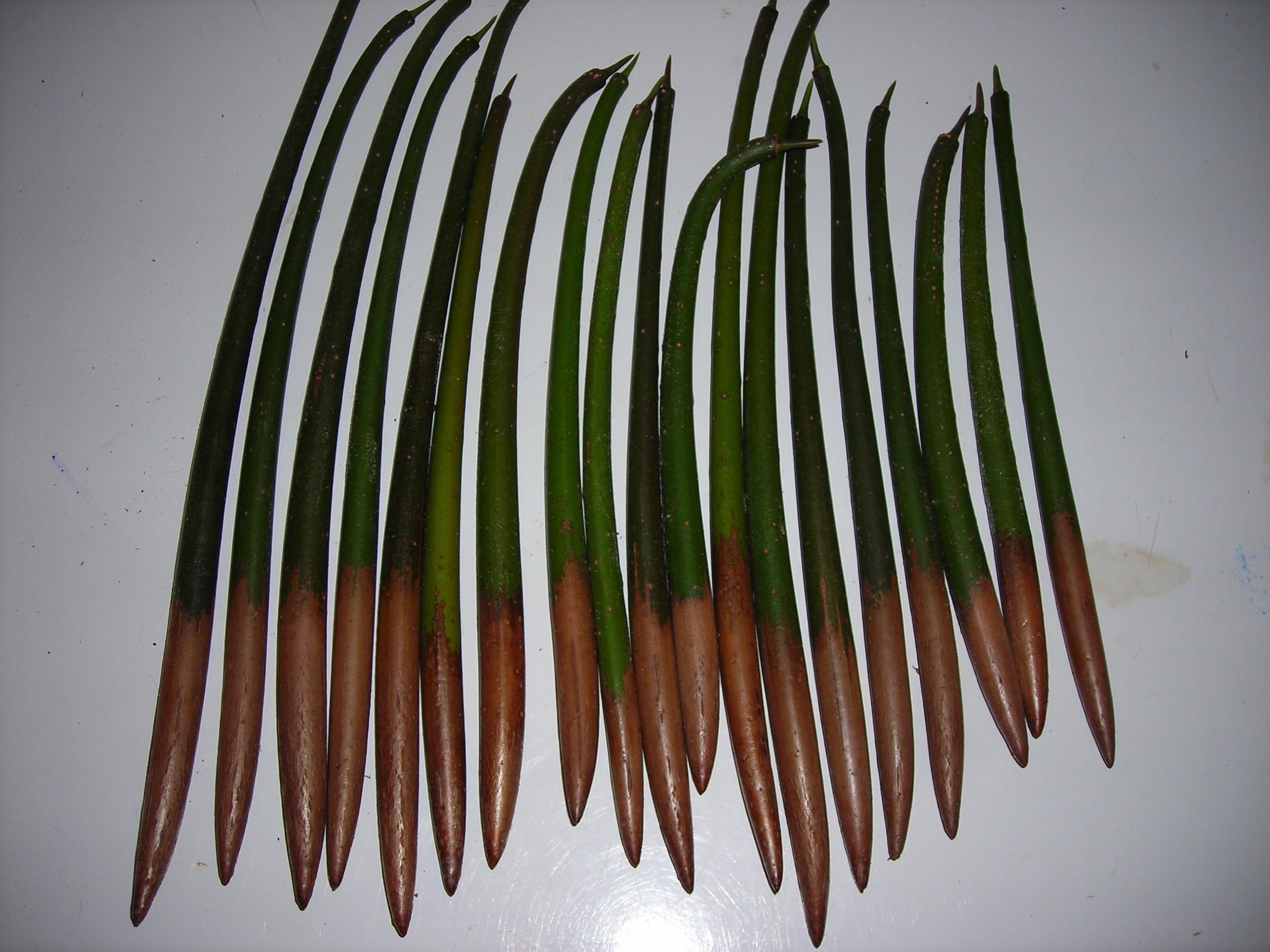 200 RED MANGROVE SEEDS FRESH OR SALT WATER