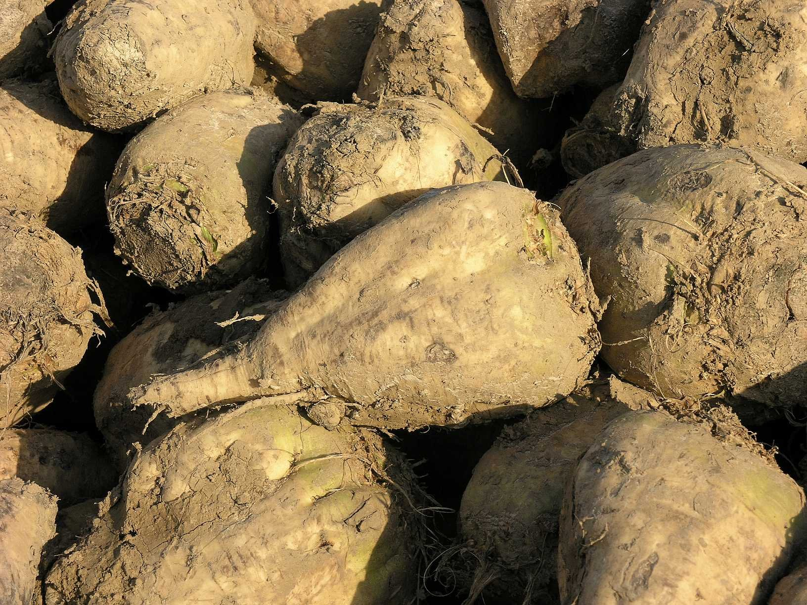 Beet Sugar (30 thru 25 LB seeds) Save$ Giant White Beet for Plot & Survival! C16 (150,000 seeds, or 10 lb) by Zellajake Farm and Garden (Image #5)