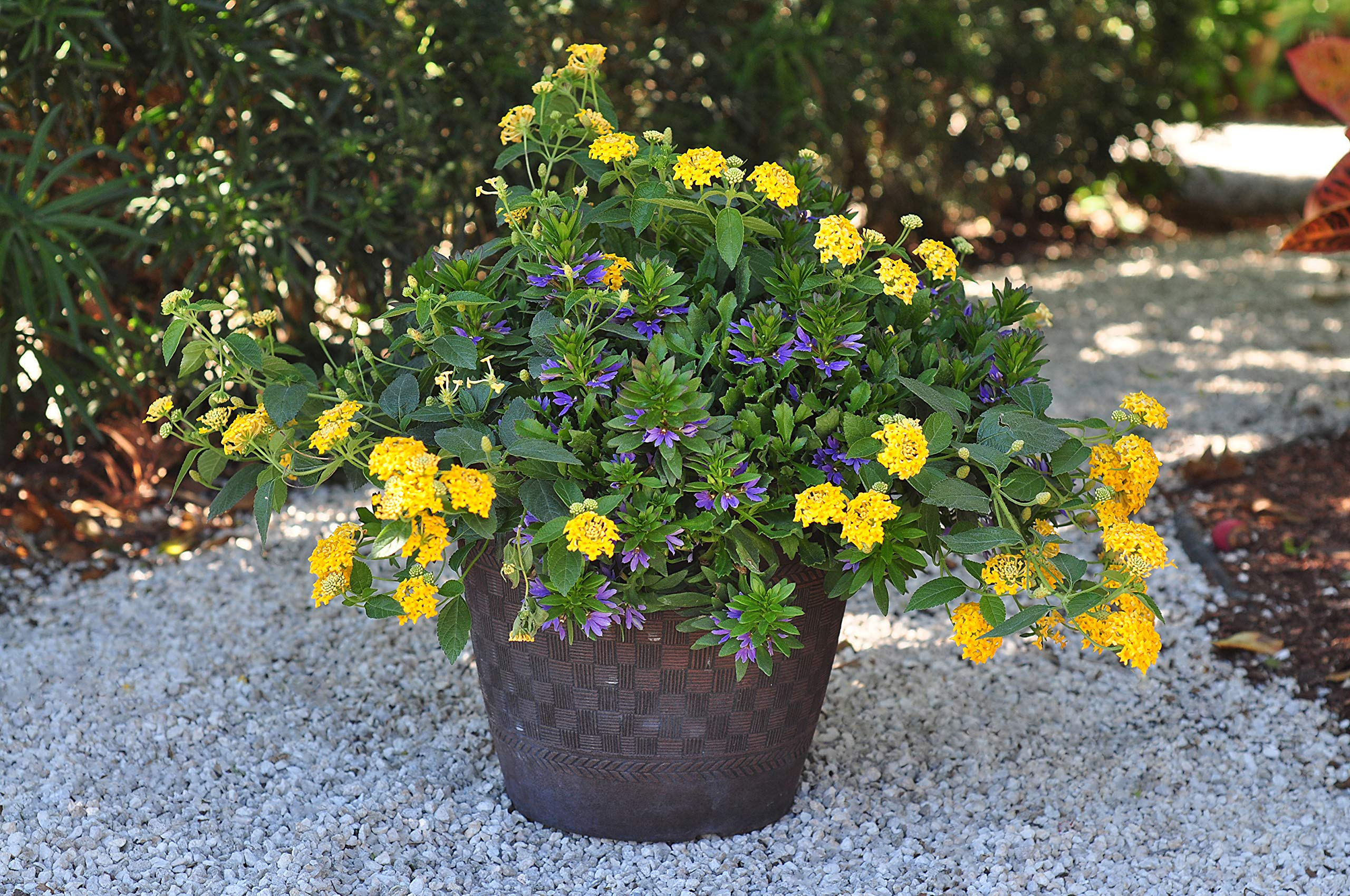 Costa Farms Live Premium Lantana Plant 1.00 qt Grower Pot, 8-Pack Yellow by Costa Farms (Image #4)