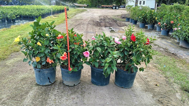 Amazoncom Hibiscus Rosa Sinensis Spp Tropical Hibiscus Chinese