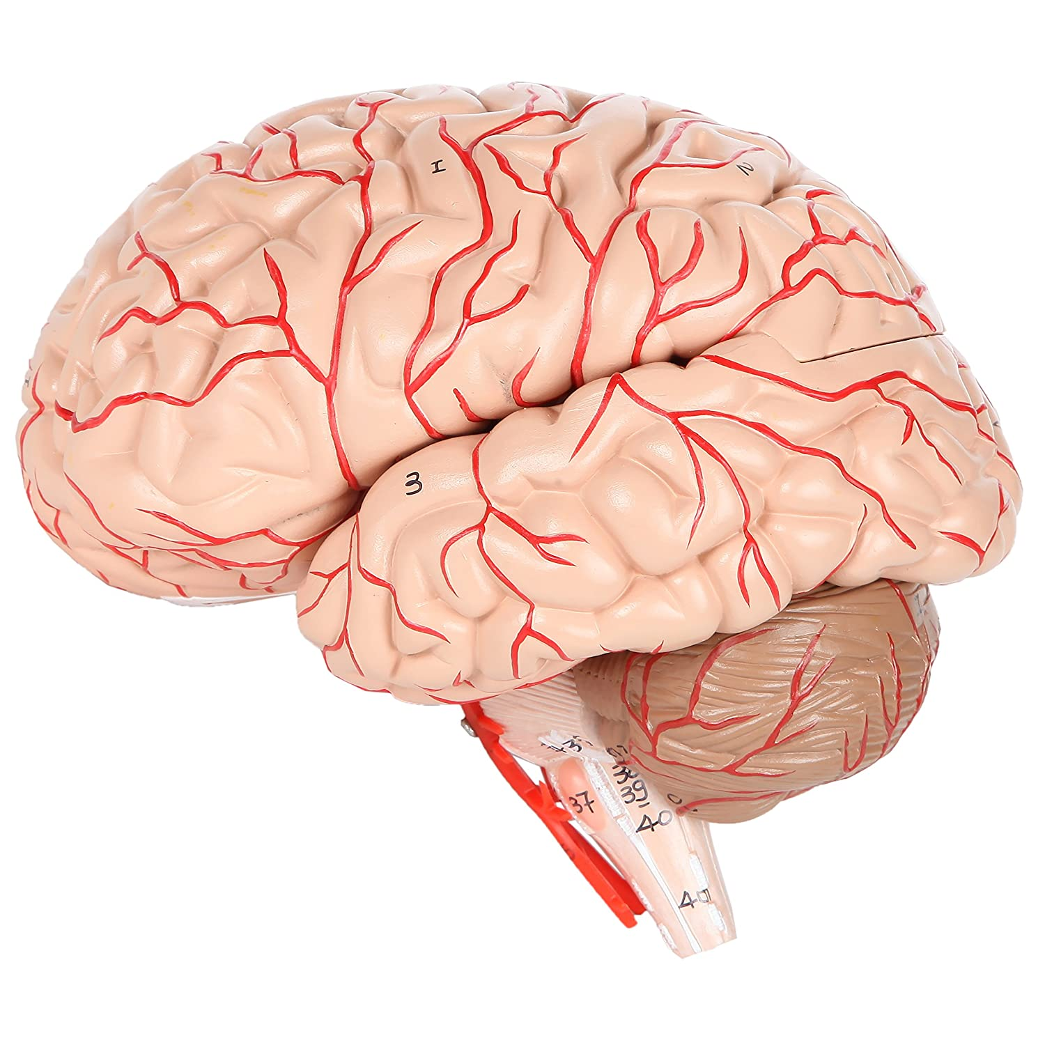 Axis Scientific Brain with Arteries Anatomy Model, Dissects into 8 ...