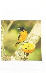 3dRose fl_94524_1 Baltimore Oriole Bird Coastal Texas US44 Mpr0066 Maresa Pryor Garden Flag, 12 by 18-Inch