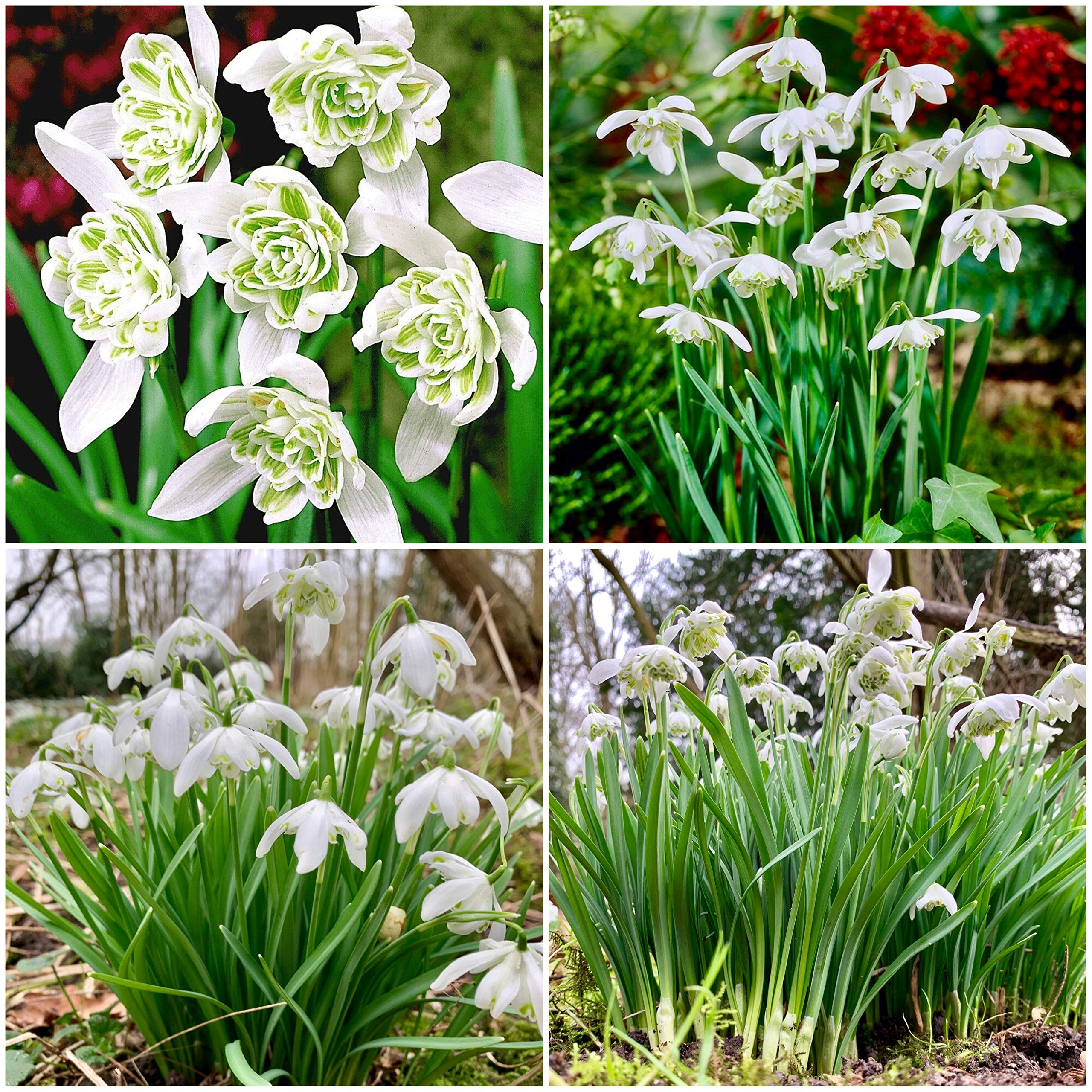 Woodland bulbs® 100 x DOUBLE SNOWDROPS BULBS Freshly Lifted - Spring Flowering Bulbs - Galanthus Nivalis Flore Pleno - Plant With Bluebells & Aconites - FREE UK P&P