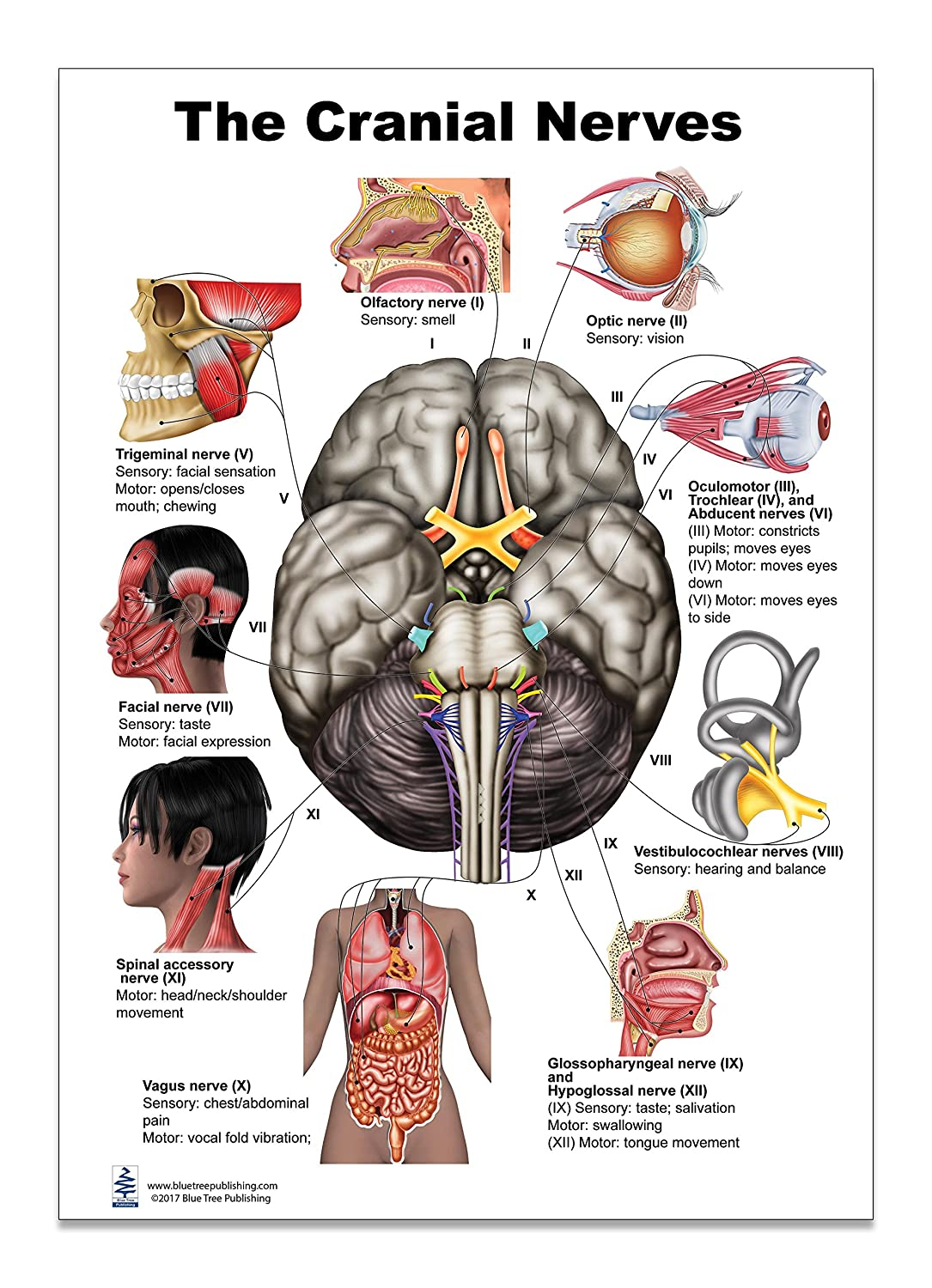 Amazon.com: The Brain Cranial Nerves Poster 12x17inch, Waterproof ...