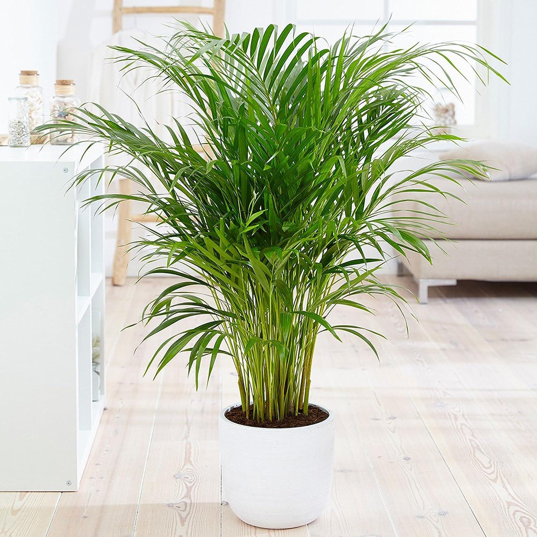 Gulmohar Green Nursery Areca Palm Plant: Amazon.in: Garden & Outdoors