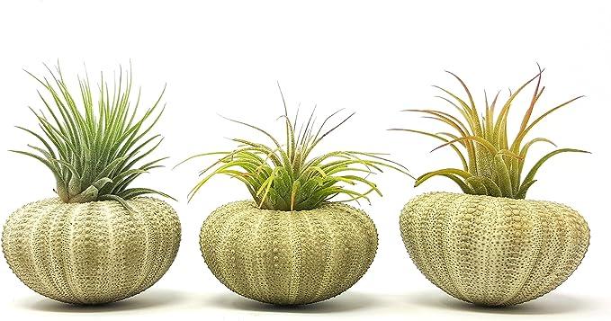 3 pcs verde Sea Urchin aire planta Lot/Kit incluye 3 Tillandsia ...