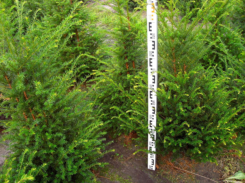 10 Stück Heckenpflanze Taxus baccata Eibe 100cm Amazon Garten