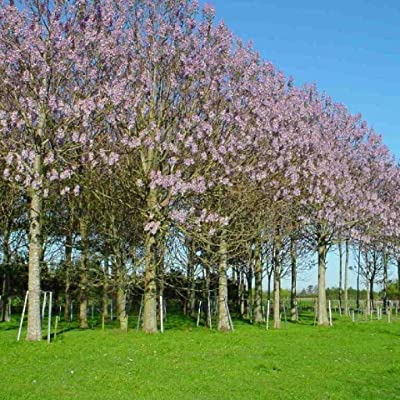 BEAUTIFUL PAULOWNIA TREE Paulownia Elongata ~ 100+ SEEDS : Garden & Outdoor