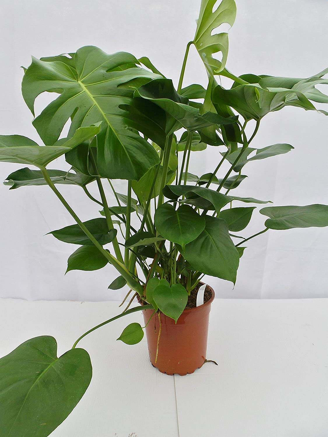 Perfect Plants Monstera Deliciosa Swiss Cheese 24 cm Pot, Green, 80 cm Perfect Plants Ltd - Dropship uk lawn and garden PESM3