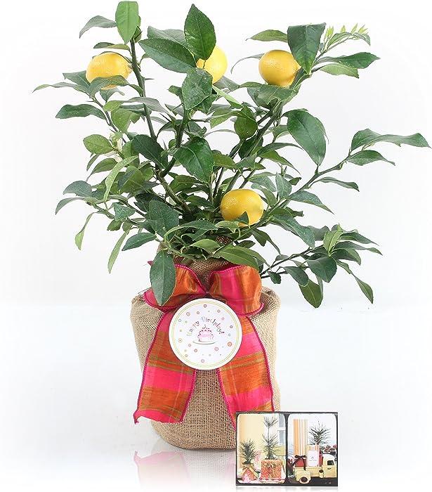 Happy Birthday Meyer Lemon Gift Tree by The Magnolia Company - Get Fruit, Dwarf Fruit Tree with Juicy Sweet Lemons, NO Ship to TX, LA, AZ and CA