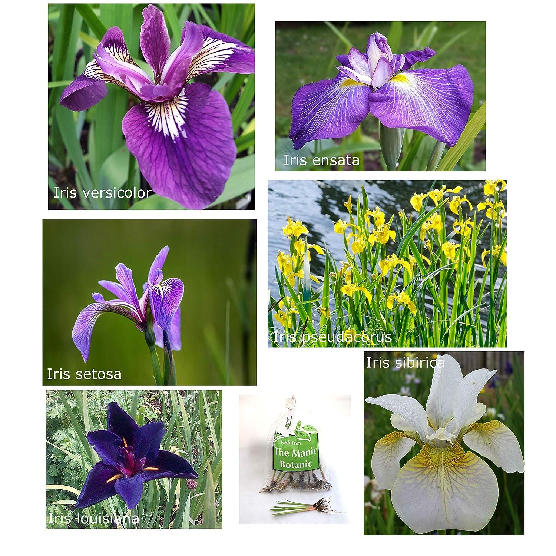 The Manic Botanic Marginal Pond & Garden Iris - 6 Selected Iris for Ponds & Garden Borders