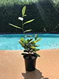 "Camellia Sinensis 4"" Pot Beautiful Live Tea Plant Black White Green & Oolong"