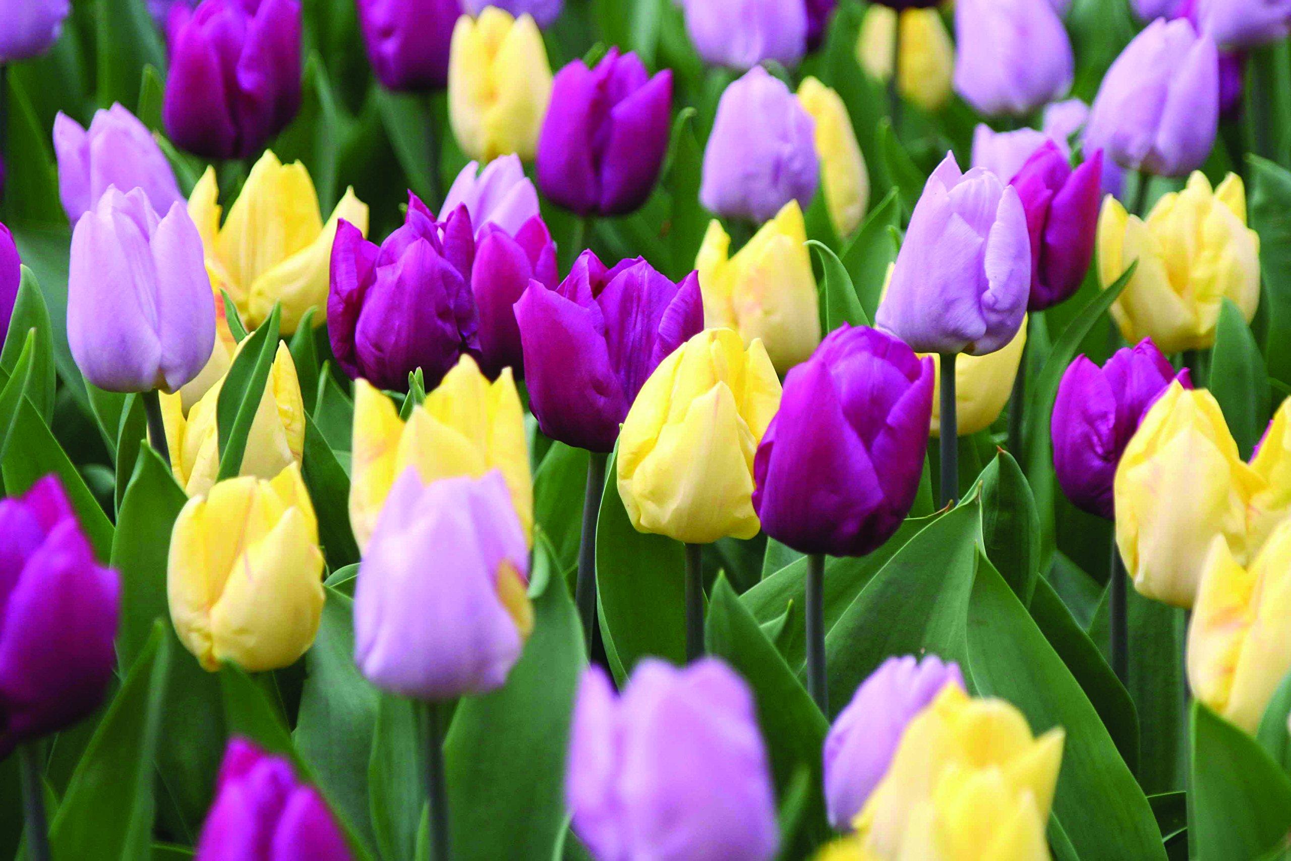 Burpee's Early Prince Tulip Mix - 15 Flower Bulbs | Lavender, Yellow, and Purple | 12 - 14cm Diameter