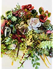 Live Succulent Cuttings 10 Assorted Varieties Beginners Succulents, No 2 Cuttings Alike, Great for Terrariums, Mini Gardens, and as Starter Plants